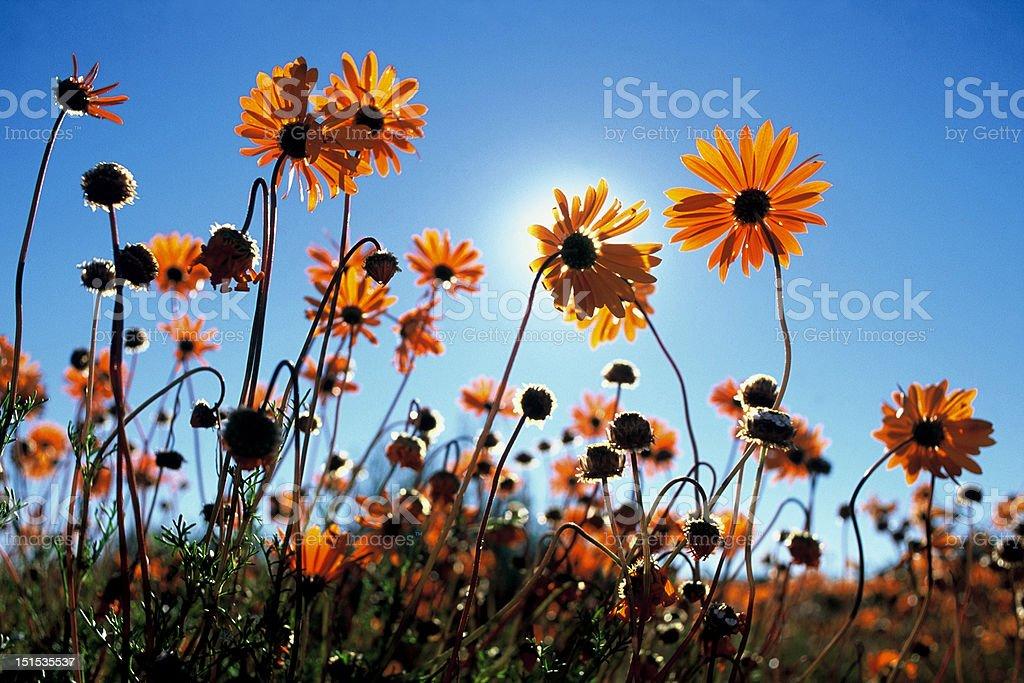 Namaqua flowers stock photo