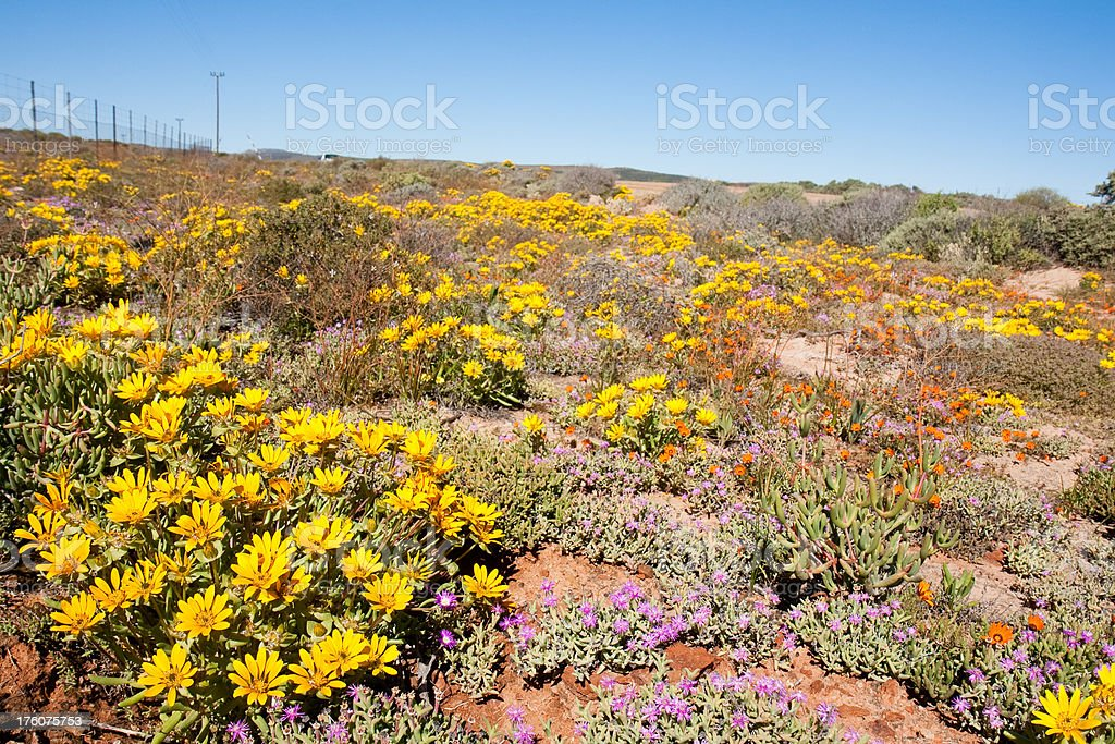 Namaqualand flowers stock photo