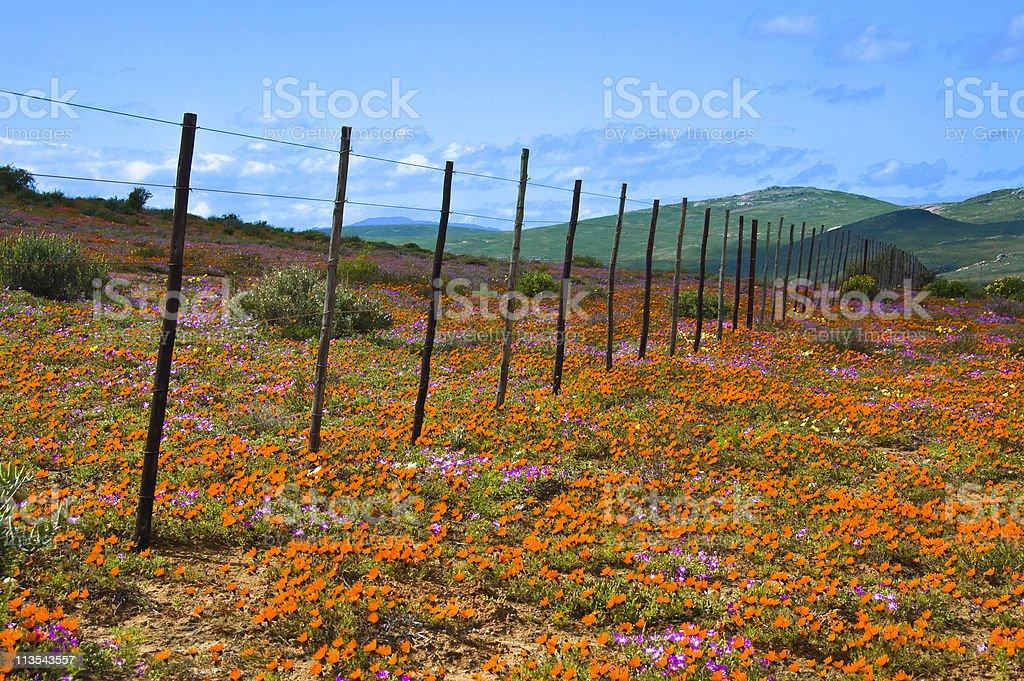 Namaqualand flowers, South Africa stock photo