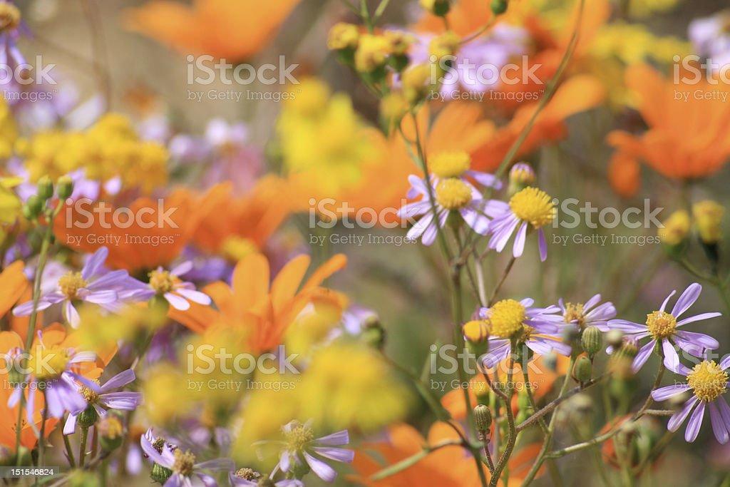 Namaqualand meadow stock photo