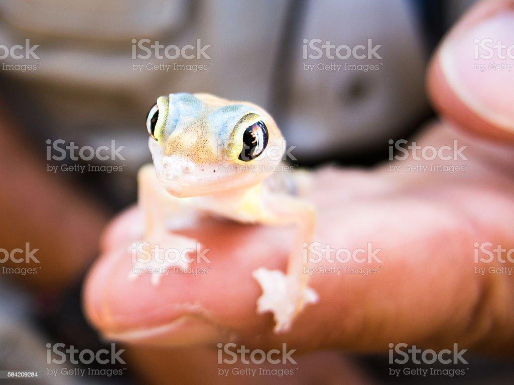 Namib Sand Gecko (Pachydactylus rangei) on Finger, Namib Desert, Namibia stock photo