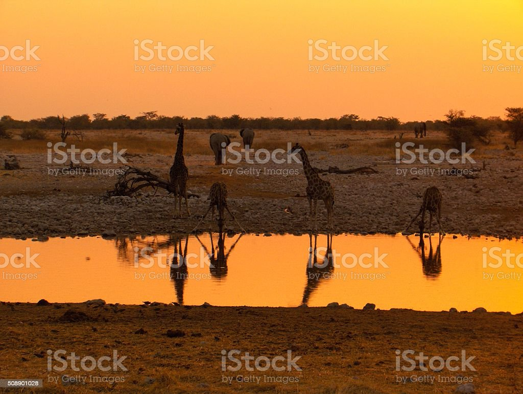 Namibia Giraffe sunset stock photo