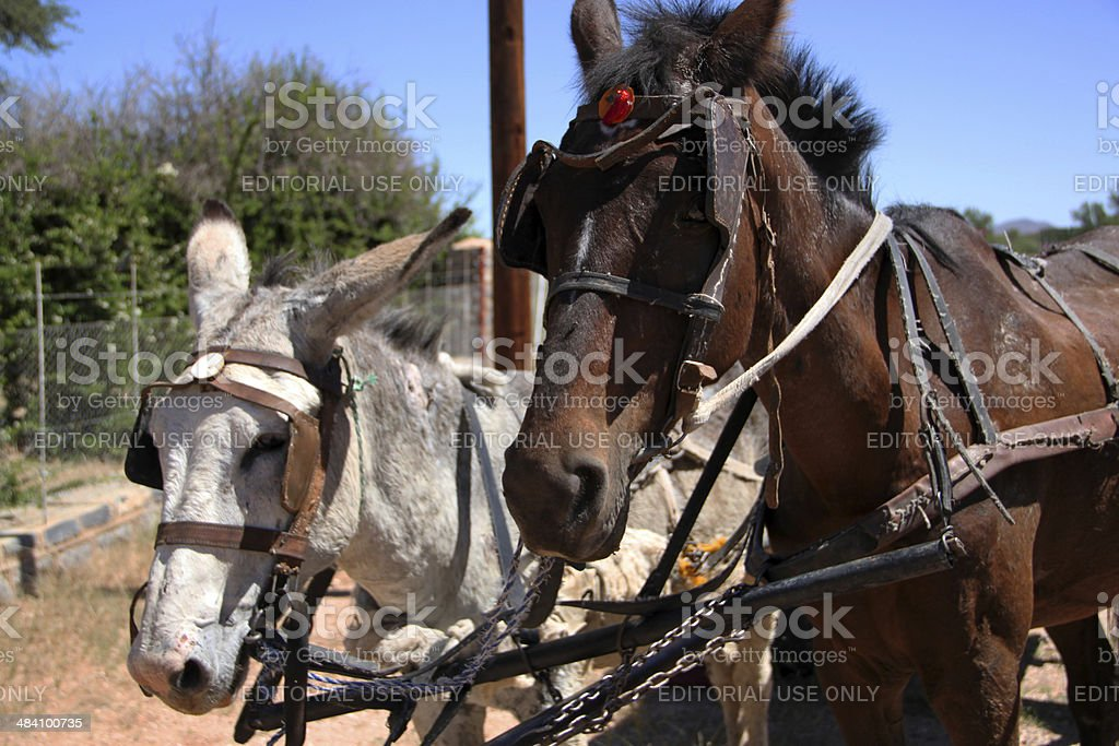 Namibia: Horses harnessed to a family wagon stock photo