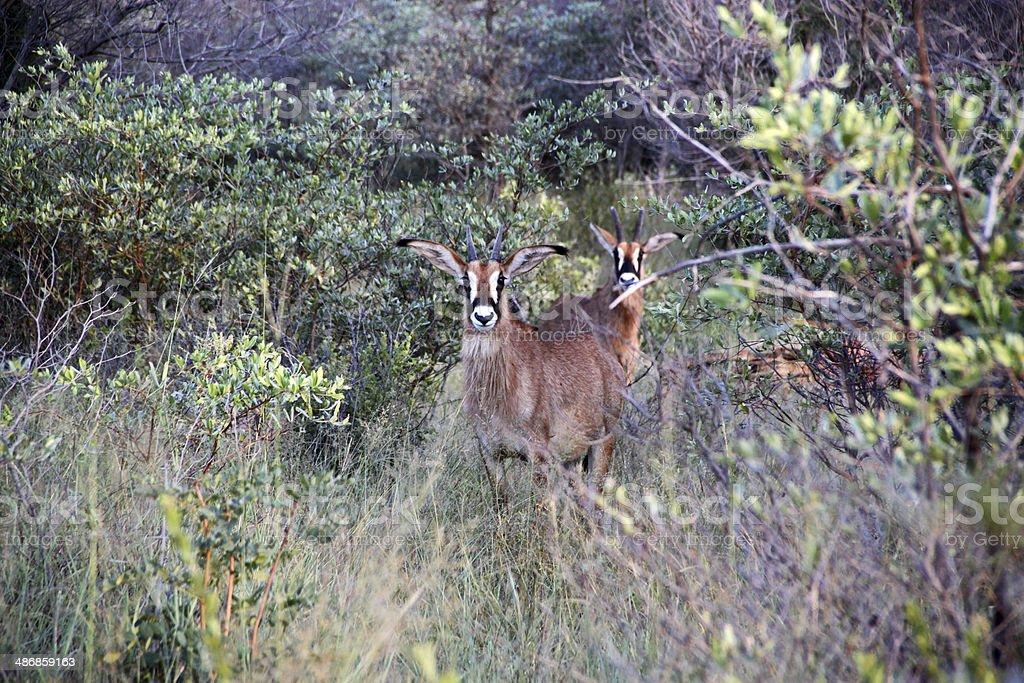 Namibia: Roan Antelope at the Waterberg Plateau stock photo