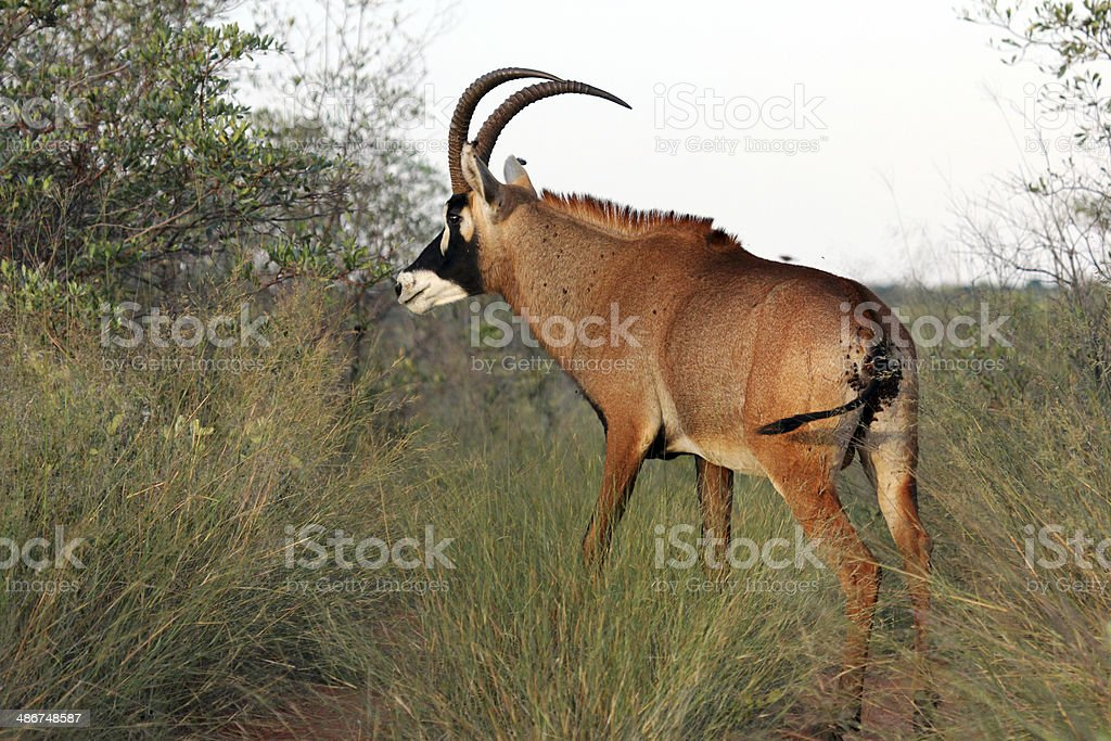 Namibia: Roan Antelope in the Waterberg Plateau stock photo