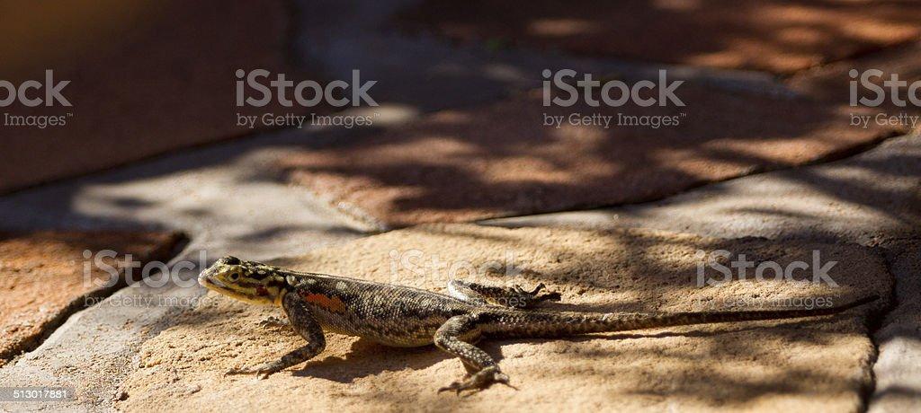 Namibian rock agama stock photo