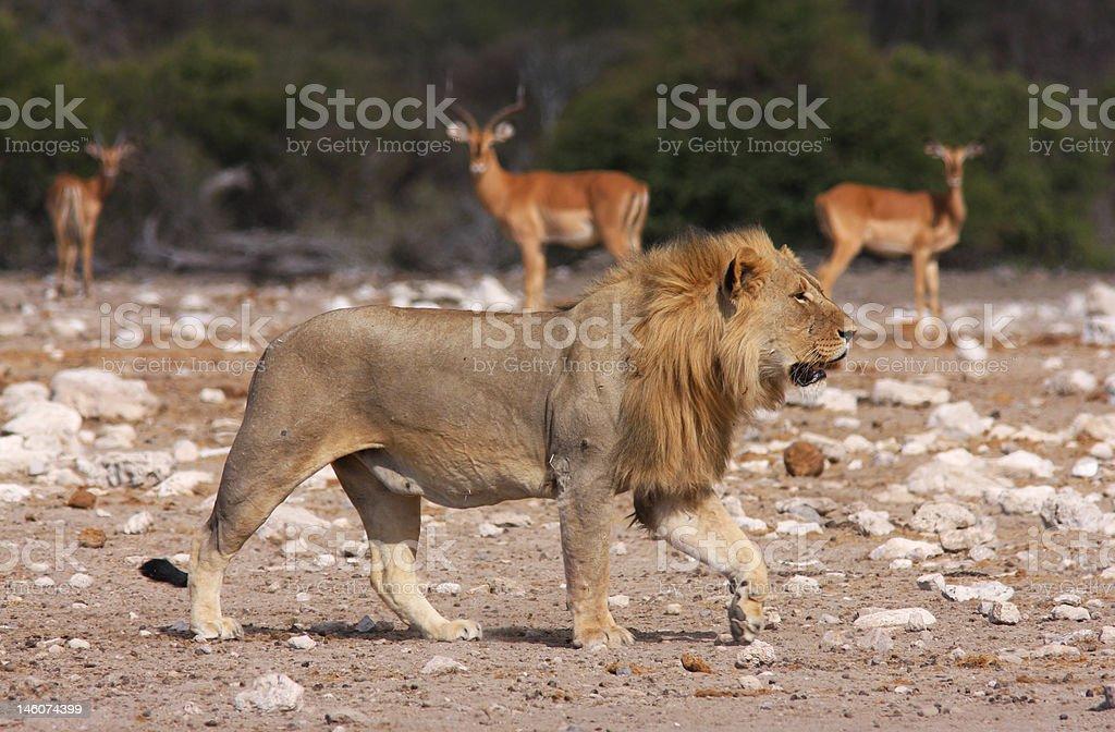 Namutoni Lion royalty-free stock photo
