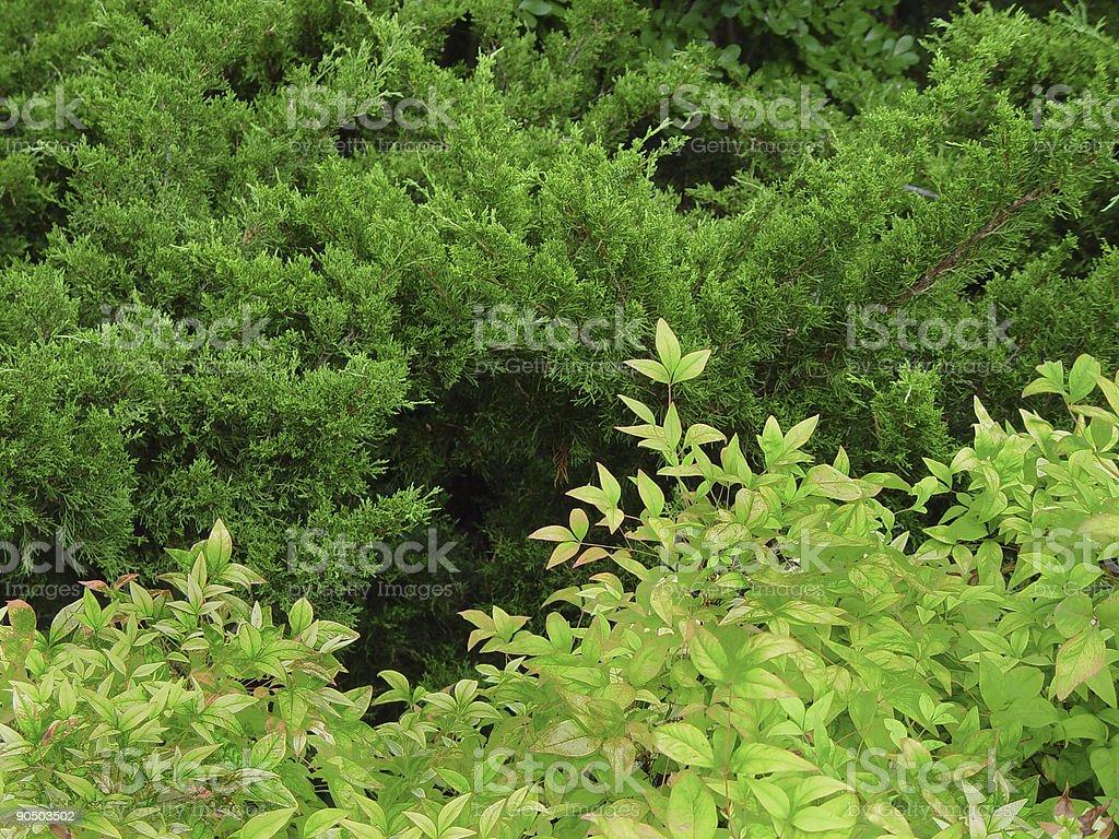 nandina and juniper background stock photo