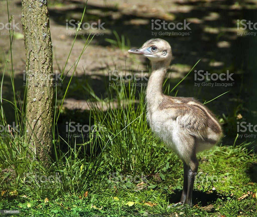Nandu chick stock photo