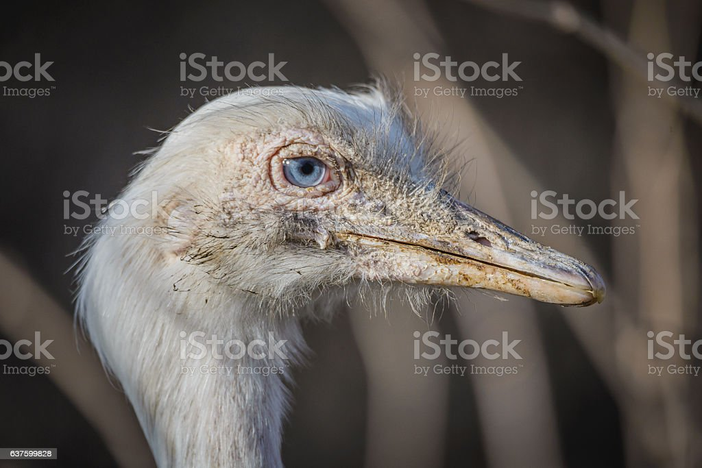 Nandu stock photo