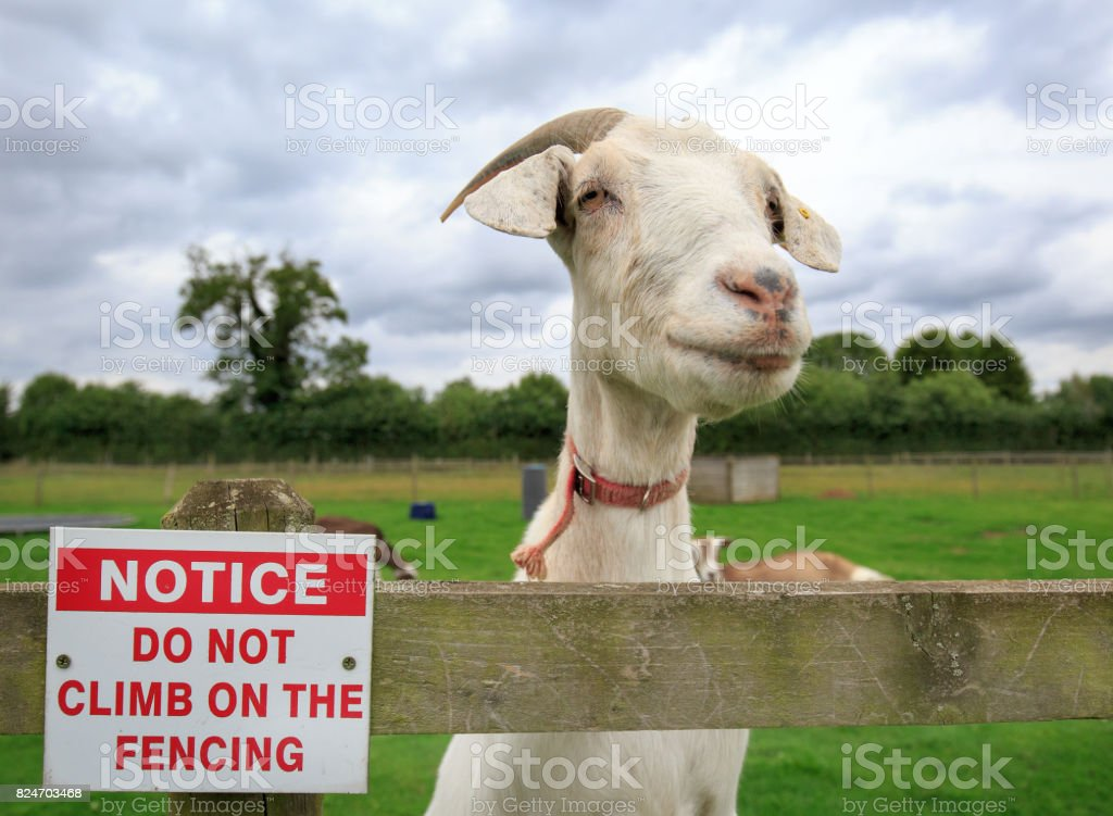 A nannny goat standing next to a no climbing the fence sign stock photo