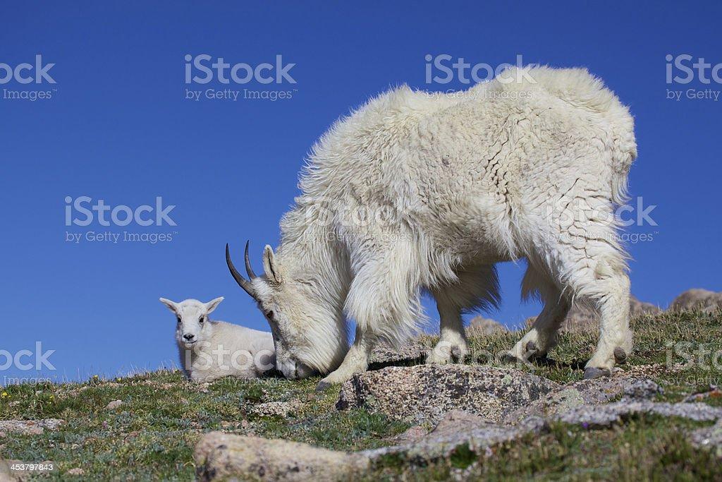 Nanny Goat and Kid stock photo