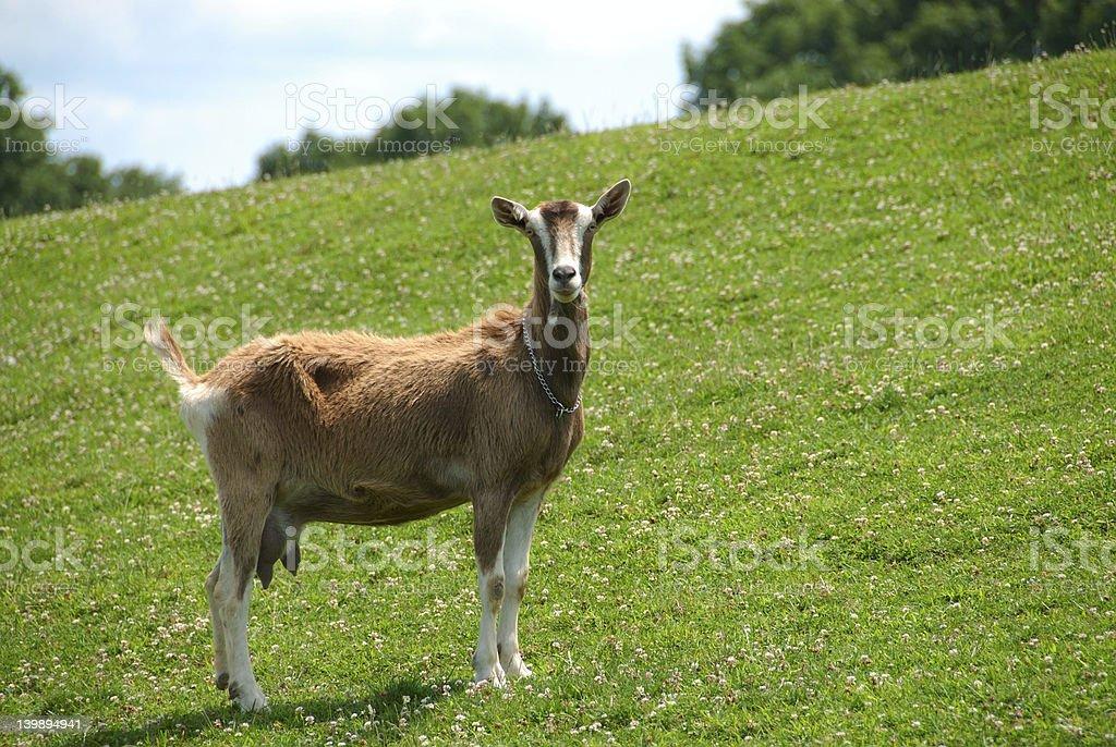Nanny Goat on the Hillside stock photo