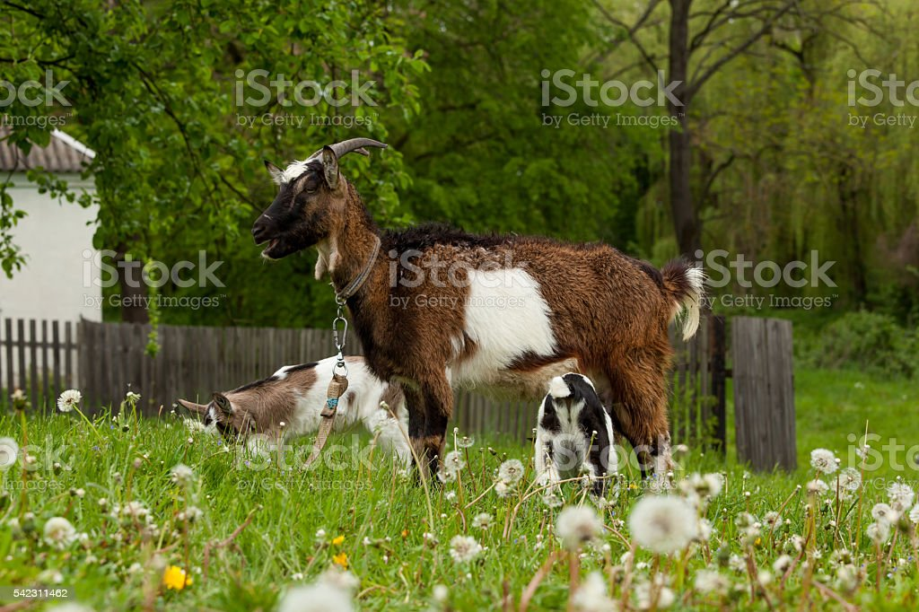 Nanny goat stock photo