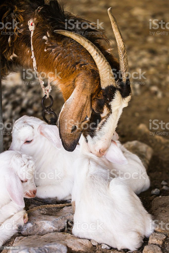 Nanny goat with her kid goats stock photo