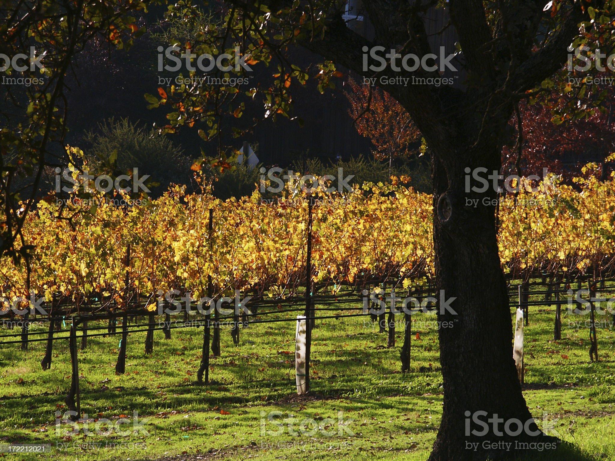 Napa in autumn - closeup royalty-free stock photo