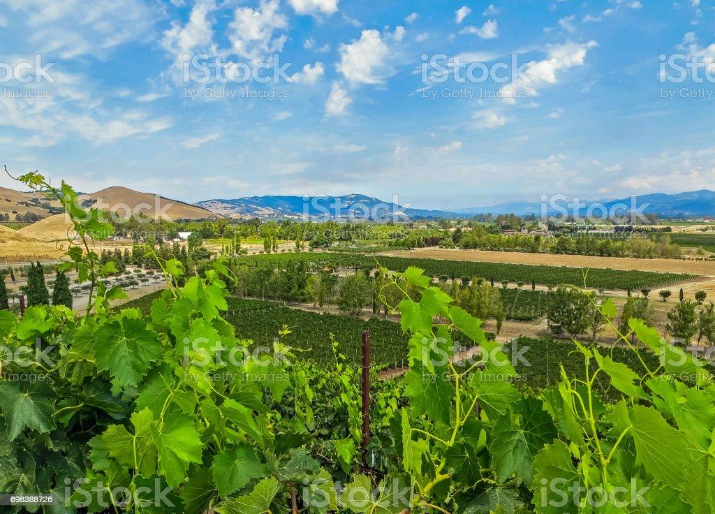 Napa Valley, CA USA - 08/06/2013 - Napa Valley, CA USA - Napa Valley Vineyards stock photo