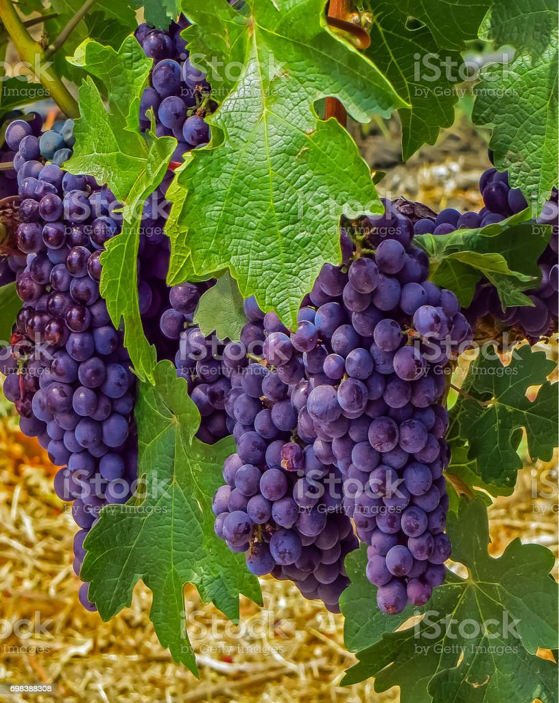 Napa Valley, CA USA - 08/06/2013 - Napa Valley, CA USA - Napal Valley Grapes on a Vine stock photo