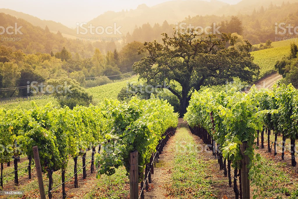 Napa Valley Wine Country Vineyard in Morning Fog stock photo