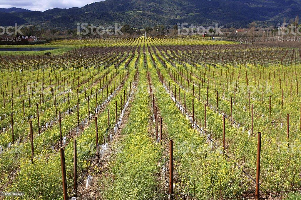 Napa valley California wine grape field royalty-free stock photo