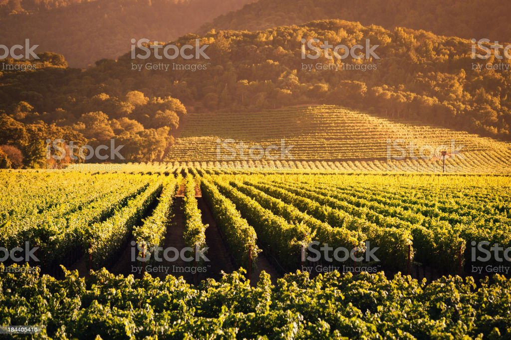 Napa Valley Grape Vineyard Landscape of California Field Vine Crop stock photo