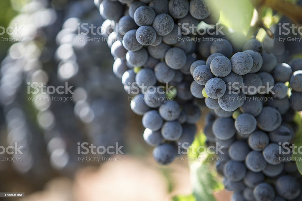 Napa Valley Grapes in a Vinyard royalty-free stock photo