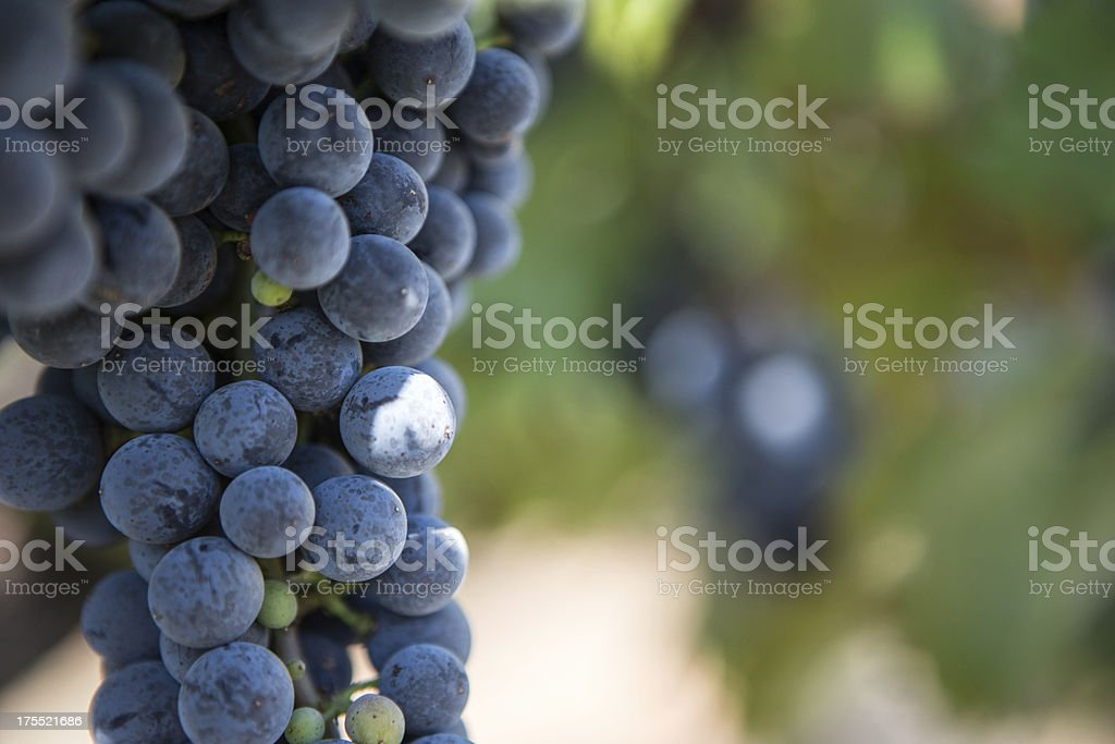 Napa Valley Grapes in a Vinyard royalty-free stock photo