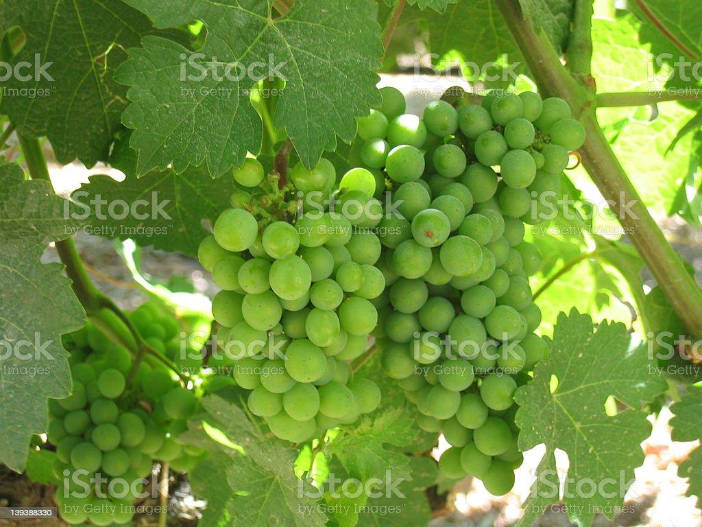 Napa Valley Grapes royalty-free stock photo