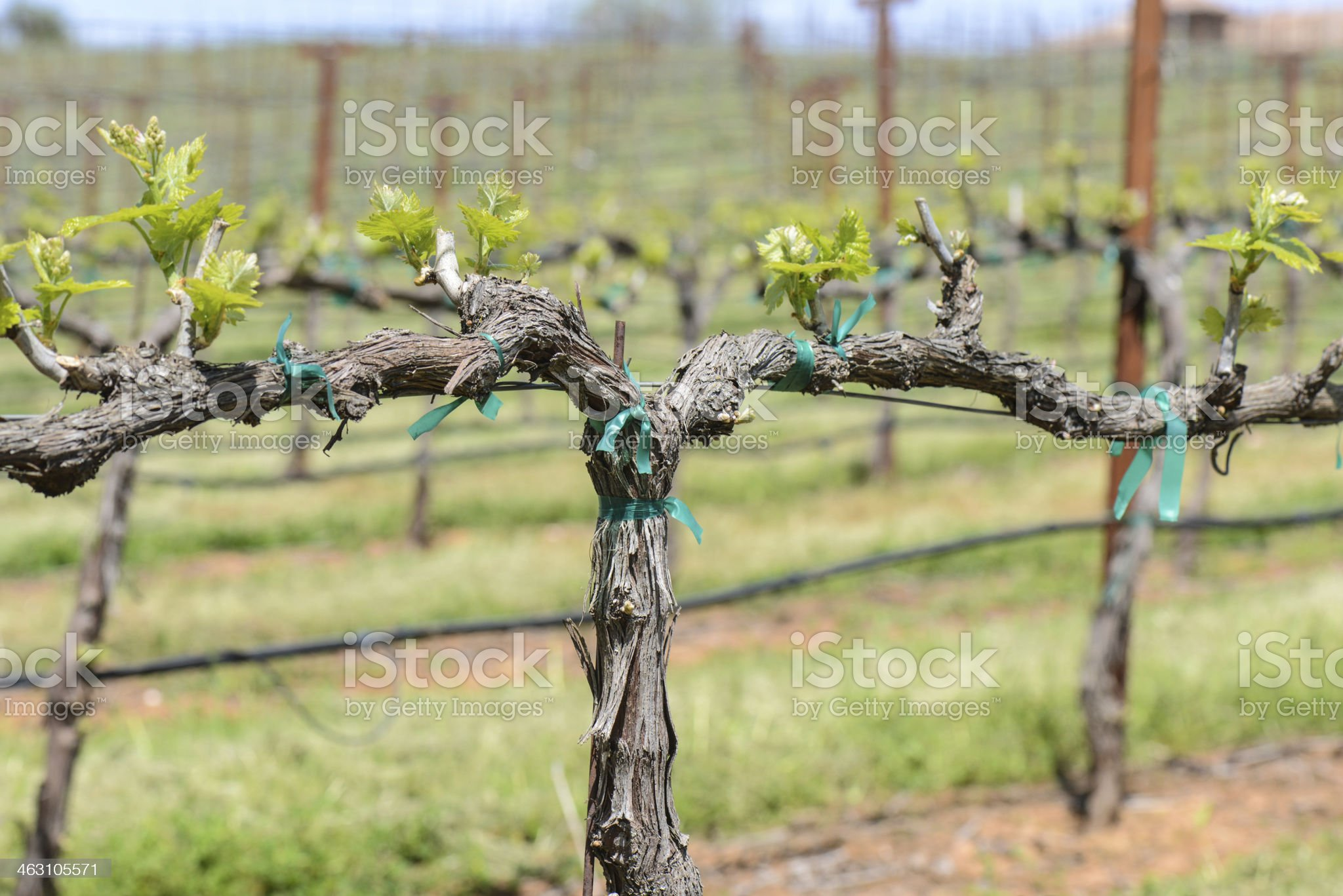Napa Valley Grapevine Close Up royalty-free stock photo