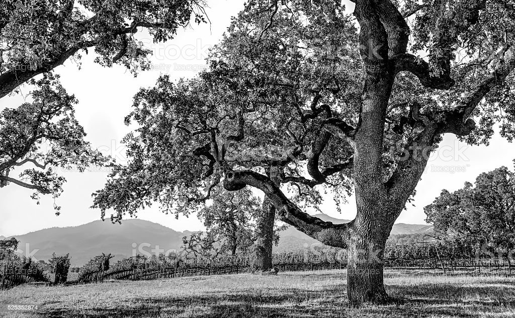 Napa Valley in Monochrome stock photo
