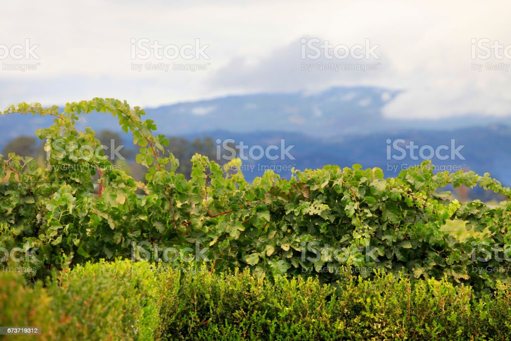Napa valley vineyard, California stock photo