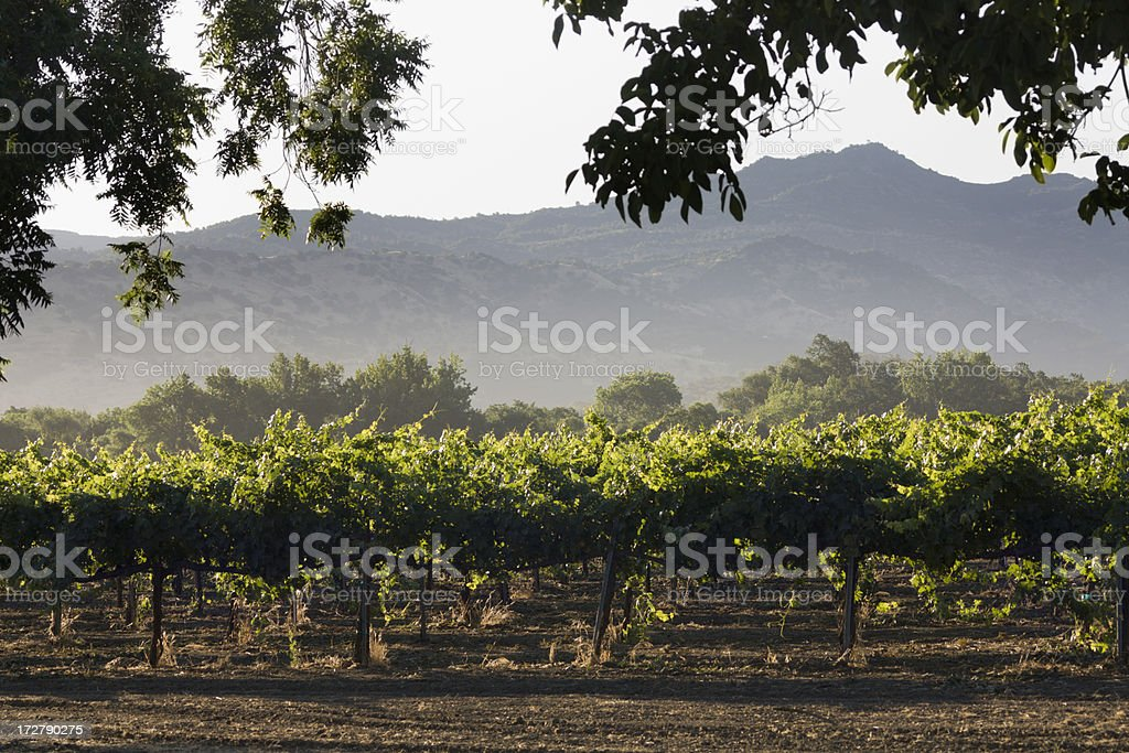 Napa Valley Vineyard in the Morning royalty-free stock photo