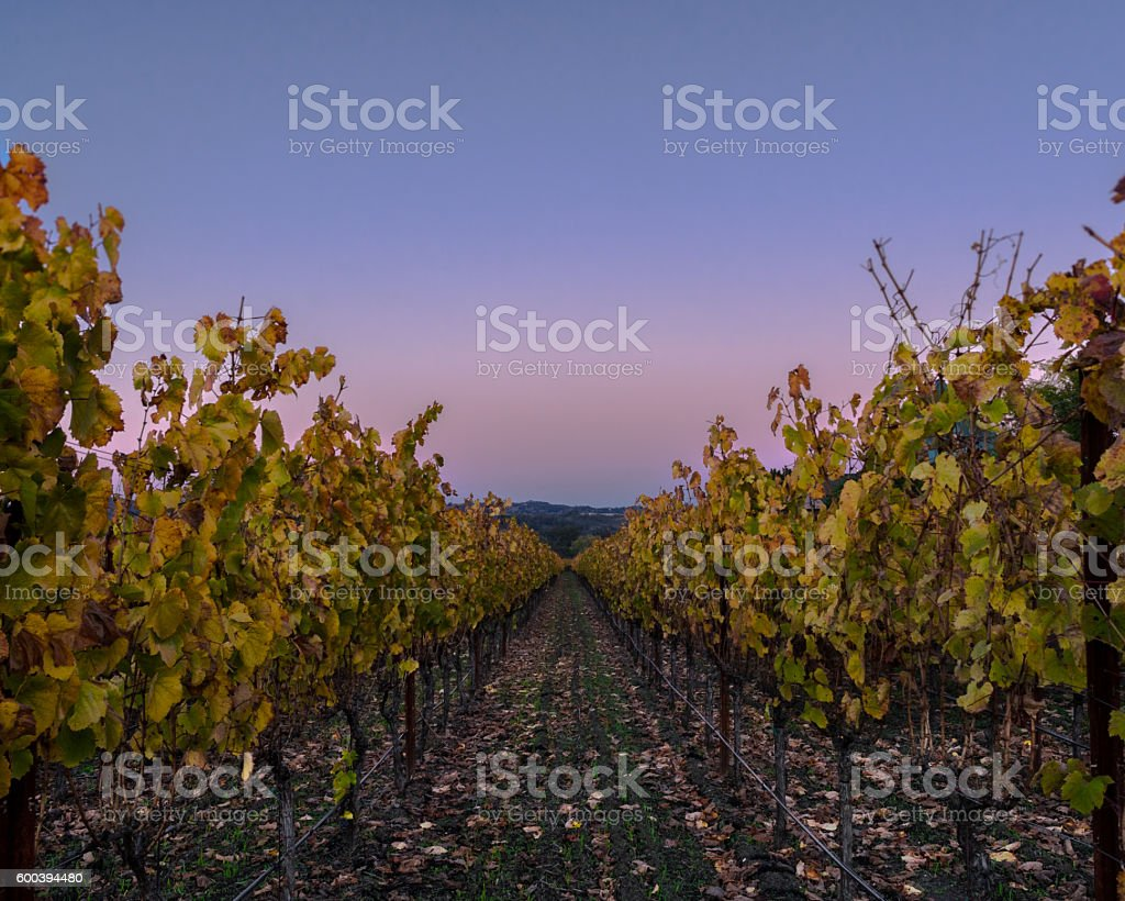 Napa Valley vineyard row in autumn, sunset with clear sky stock photo