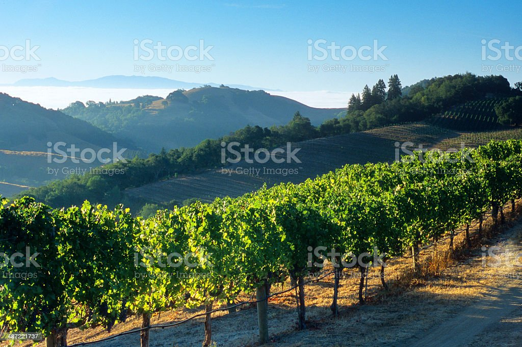 Napa Valley Vineyards and Fog stock photo