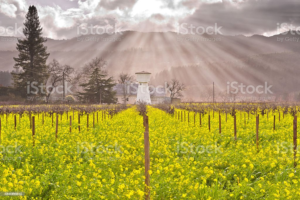 Napa Valley Vineyards and Wild Mustard in Heavenly Light stock photo