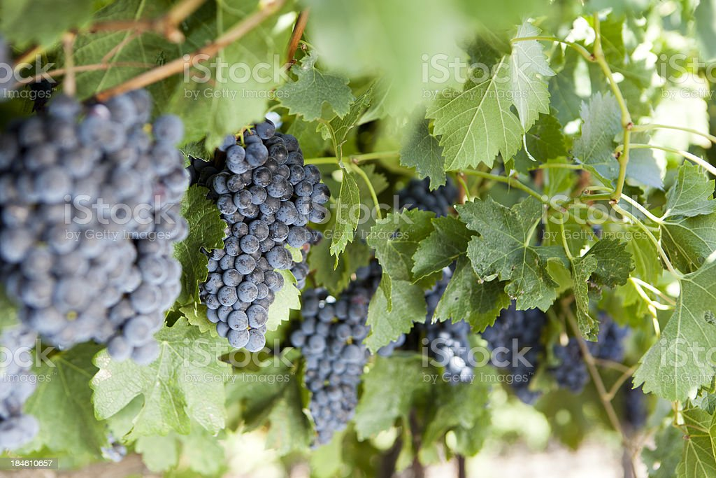 Napa Valley Wine Grapes Ripening during the Autumn Crush stock photo