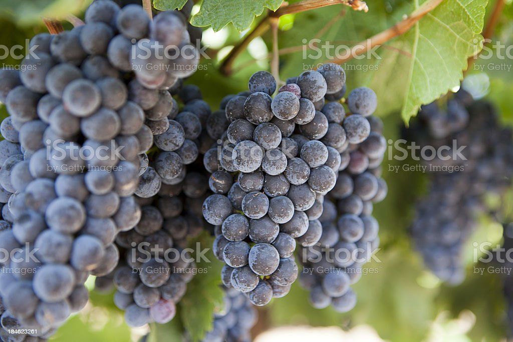 Napa Valley Wine Grapes Ripening during the Autumn Crush royalty-free stock photo