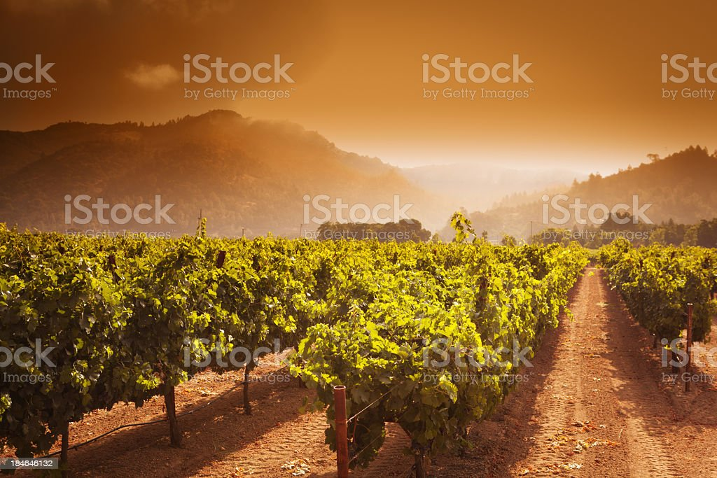 Napa Valley Winery Vineyard Grapevines Crop at Sunrise in California stock photo