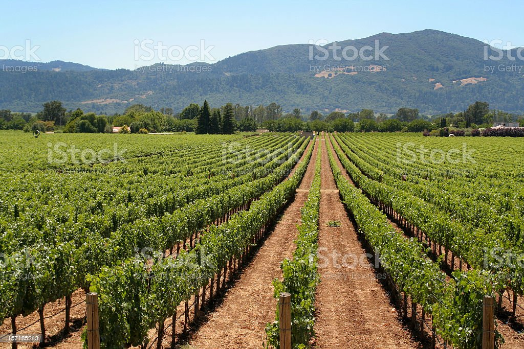 Napa Valley Winery Vineyard, with Rows of Agricultural Vines, California royalty-free stock photo