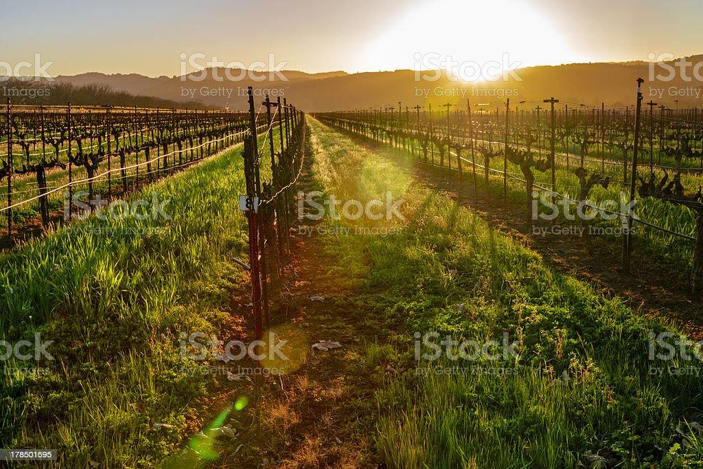 Napa Vineyard stock photo