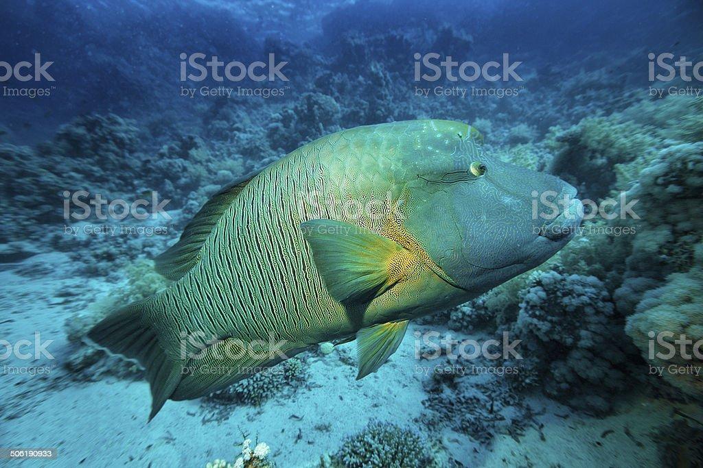 Napoleonfish stock photo