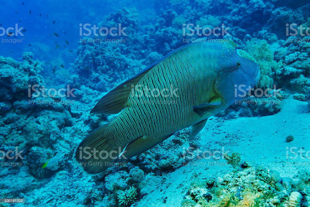 Napoleonfish   Underwater sea life    Coral reef stock photo