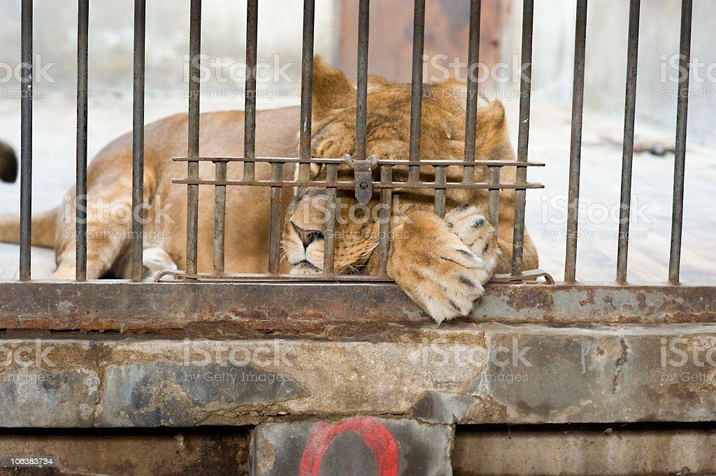 Napping Tiger royalty-free stock photo