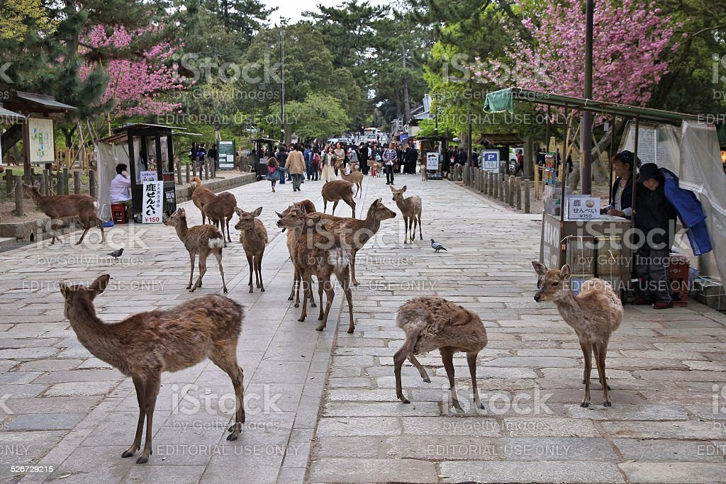 Nara deer, Japan stock photo