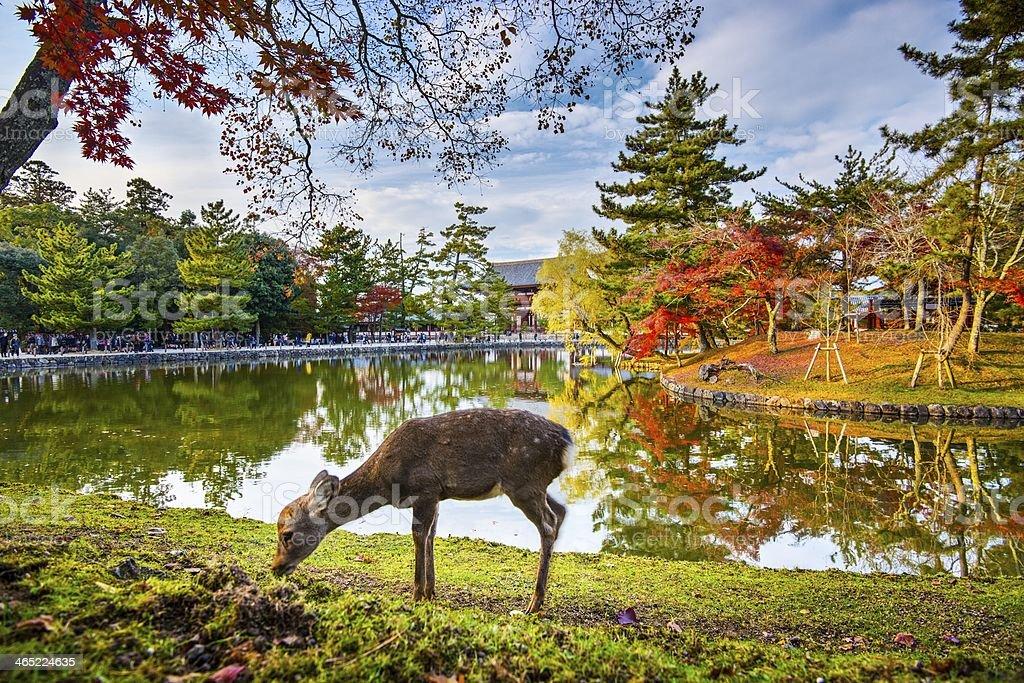 Nara Deer stock photo
