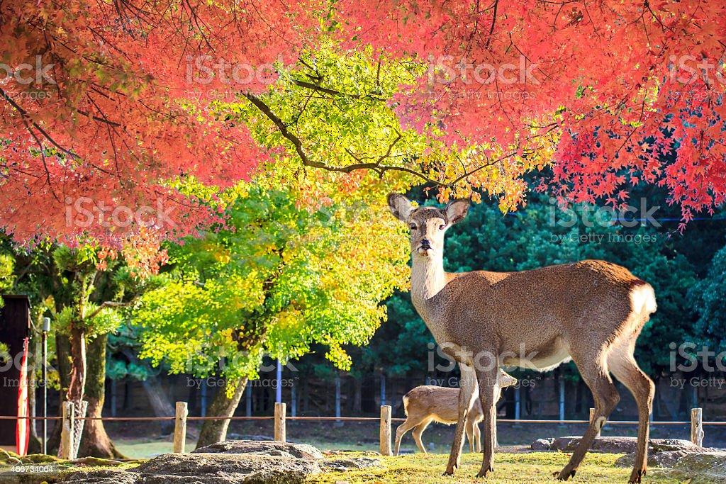 Nara deer roam free in Nara Park, Japan stock photo