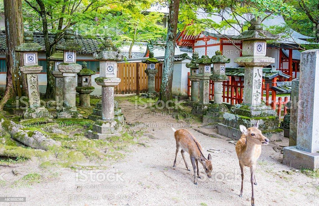 Nara Shrines with Deer stock photo