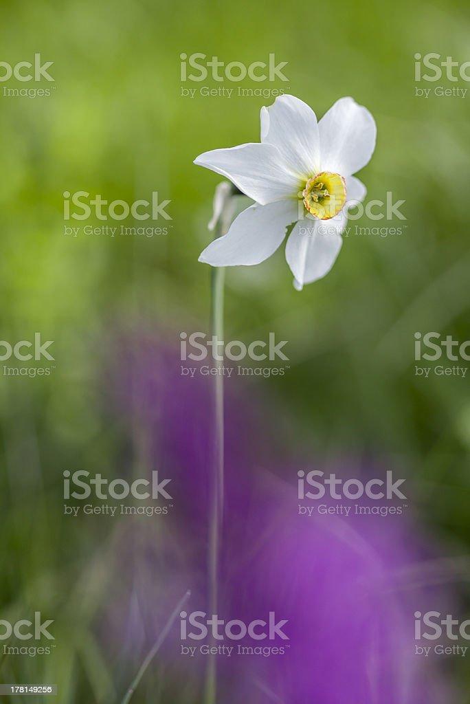Narciso. Narcissus royalty-free stock photo