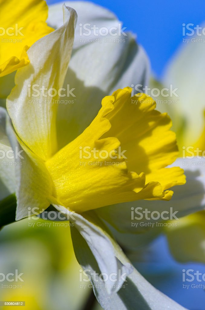 Narciss spring flower stock photo