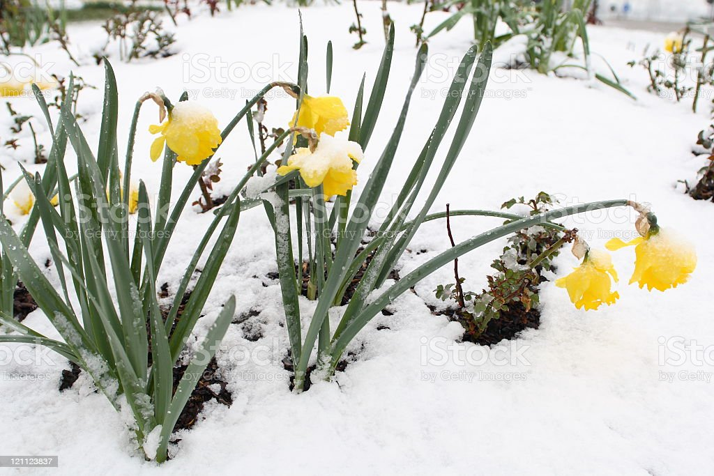 Narcissi in Snow stock photo